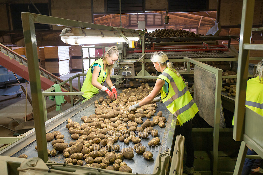 Grading and boxing Maris Piper potatoes ready for long term storage - South Lincolnshire, September