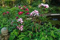France, Manche (50), Vauville, Jardin botanique du château de Vauville, Jardin de la Sagesse avec pivoines en arbre (Paeonia suffruticosa) en bord de bassin