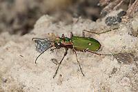 Feld-Sandlaufkäfer,  Feldsandlaufkäfer, Sandlaufkäfer,  Feldsandläufer, Cicindela campestris, green tiger beetle