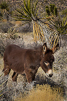 Wild Burros roam near Red Rock Canyon  outside of Las V egas Nevada.  At one time more than 10,000 wild burros were found in California, Arizona and Nevada. Today there are about 8,000 burros in the western United States.