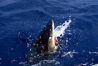 An oceanic whitetip shark  Carcharhinus longimanus  biting at the surface showing it's protective nictitating eyelid.  Hawaii.