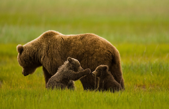 A brown bear mother and her two cubs, born the previous winter, play and graze on grass in a coastal meadow in Lake Clark National Park, Alaska, June 24th 2008. Photo by Gus Curtis