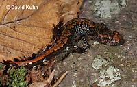 0604-0878  Mountain Dusky Salamander, Desmognathus ochrophaeus  © David Kuhn/Dwight Kuhn Photography