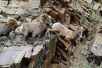Bighorn Sheep Rams Chasing Ewe