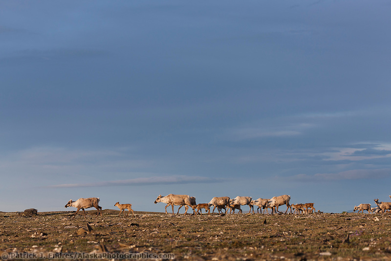 Caribou of the Western arctic herd migrate through the Utukok Uplands, National Petroleum Reserve Alaska, Arctic, Alaska.