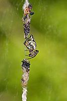 Konusspinne, Konus-Spinne, Konische Kreisspinne, Cyclosa conica, Trashline Orbweaver. Spinne des Jahres 2016