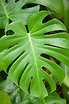 USA, Florida, St. Pete Beach, Close-up of Swiss Cheese Plant (Monstera deliciosa) green leaf