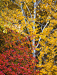 Wenatchee National Forest, Washington:<br /> Forest detail of autumn colored foliage and white aspen trunks