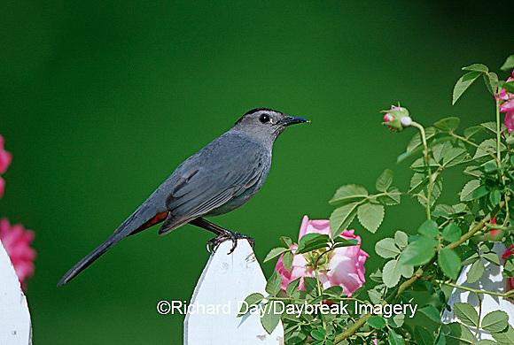 01392-02808 Gray Catbird (Dumetella carolinensis) on picket fence near pink rose bush Marion Co. IL
