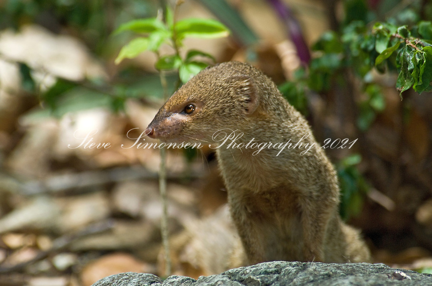 Mongoose at the petroglyphs in Reef Bay, Virgin Island National Park