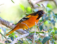 Male Baltimore oriole molting to adult plumage in fall migration in early September. Or maybe a color abberation, note brownish back and head.