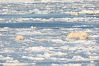 01874-12205 Polar Bear (Ursus maritimus) mother and cub jumping on ice in Hudson Bay  in Churchill Wildlife Management Area, Churchill, MB Canada
