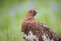 Male Willow Ptarmigan, summer tundra, Denali National Park, Alaska