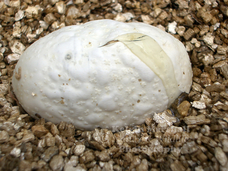 When the time for hatching arrives, the young reptiles make cuts in the egg shell with their egg tooth. They may not emerge from the egg immediately and in some cases remain with their head out, or emerging in and out, for several days. The snake will emerge when all or most of its egg food has been absorbed.