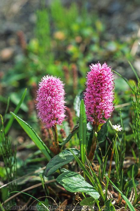 Pink Plume, Brooks range, Alaska