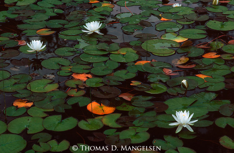 Water lilies and pads cover Salmon Lake in Montana.