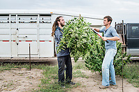 From left, Cory Bundukamara (cq) and Jordan Stanley (cq) harvest industrial grade hemp at the Stanley Brother's farm of Charlotte's Web near Wray, Colorado, Monday, September 22, 2014. The Stanley Brothers have developed a popular strain of marijuana that has been found to be helpful in reducing seizures. The marijuana high in CBDs and low in THC, the chemical which gets a person stoned.<br /> <br /> Photo by Matt Nager