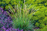 Sesleria autumnalis (Autumn Moor Grass) with Lavender and Euphorbia groundcovers in drought tolerant garden
