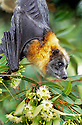 Grey-headed Flying Fox (Pteropus poliocephalus) male feeding on eucalypt blossoms. Sydney, Australia.