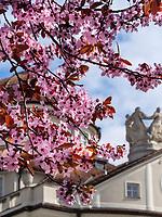 Kirschbl&uuml;te, Kurhaus in Meran-Merano, Bozen &ndash; S&uuml;dtirol, Italien<br /> Cherry blossom and spa building, Meran-Merano, province Bozen-South Tyrol, Italy