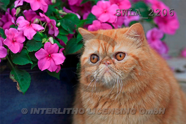 Carl, ANIMALS, photos(SWLA2206,#A#) Katzen, gatos