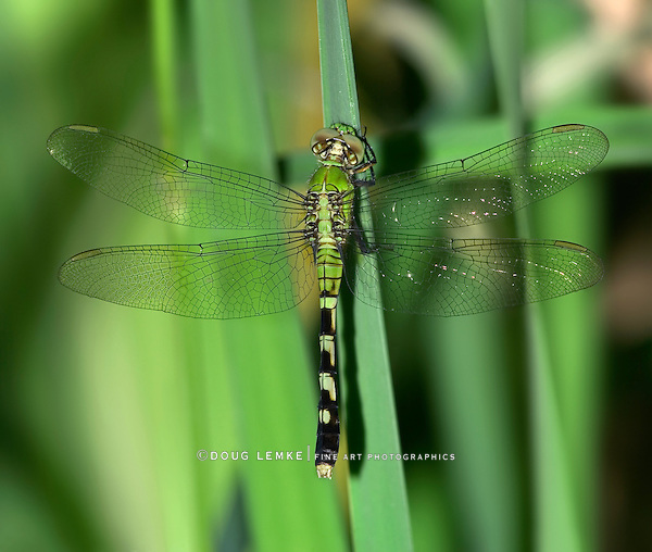 Dragonfly, Eastern Pondhawk, Erythemis simplicicollis, Southwestern Ohio, Top Down View