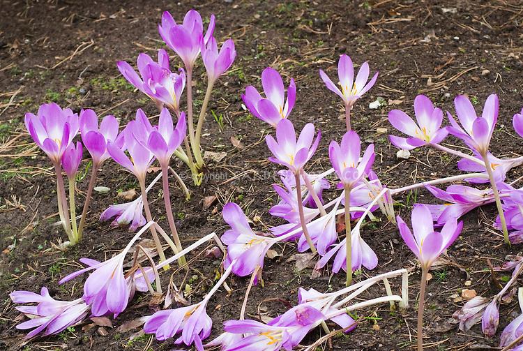 Colchicum autumnale Nancy Lindsay fall autumn flowering bulb