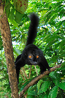 Black Lemur (Eulemur macaco macaco), male, Lokobe Nature Special Reserve, Nosy Be, Northern Madagascar