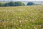 Dandelions wildflowers growing on chalk downland, East Kennett, Wiltshire, England, UK