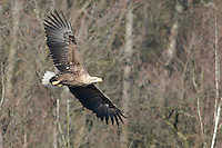 Seeadler, See-Adler, Adler, Haliaeetus albicilla, White-tailed Eagle, Pygargue à queue blanche, im Flug, Flugbild