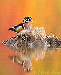 Wood Duck (Aix sponsa), male in breeding plumage, autumn color reflected in water, Ohio, USA