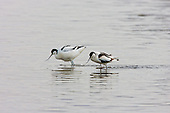 Pied Avocet (Recurvirostra avosetta) Courting before mating. Here they are walking or dragging their legs through the water, whilst swaying their heads in sync. Avocets have a fairly lengthy, delicate, courting display prior to mating, and ending after mating with bonding and affection.