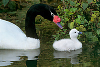 580853047 a captive zoo animal adule black-necked swan cygnus melanocoryphus swims next to her very young cygnet in a pond at an aaza accredited zoo - species is native to south america