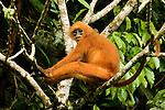 Red Leaf Monkey (Presbytis rubicunda) in tree, Tawau Hills Park, Sabah, Borneo, Malaysia