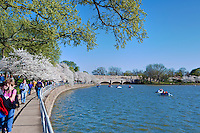 Spring Cherry Blossoms, Tidal Basin, Washington DC, District of Columbia, USA,  Capital of the United States