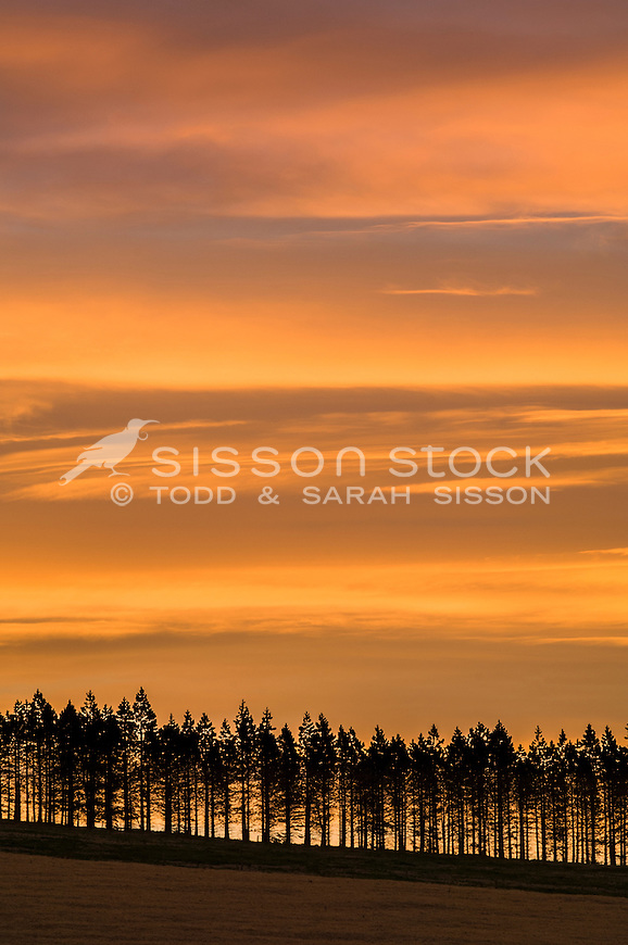 Row of pine trees silhouetted against vibrant sunset clouds. Rangitata Valley, Canterbury NZ.