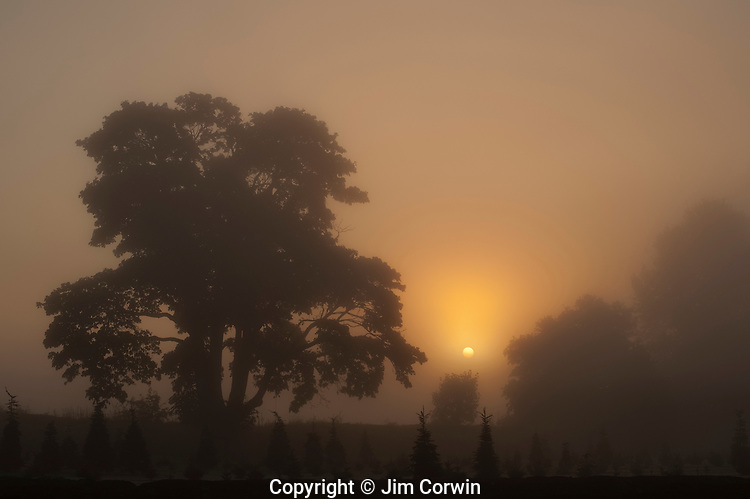 Silhouetted tree at sunrise with fog and sunrays