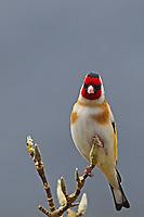Stieglitz, Distelfink, Carduelis carduelis, European goldfinch, goldfinch, Le Chardonneret élégant