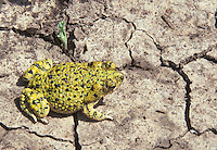 Green Toad; Bufo debilis; on dry playa lake; TX, Floyd County