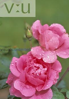 Dewy Roses, 'Morden Centennial' variety.