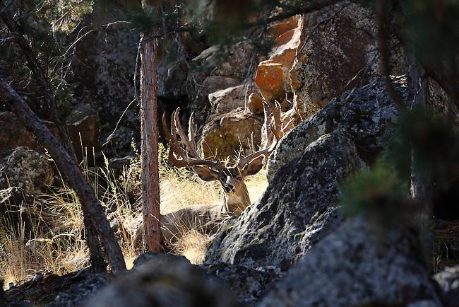 Mule deer, outdoor, muley, wildlife, outdoors, nature photography, big buck, big game, big mule deer, big game animal, buck, deer, huge mule deer buck, monster buck, monster muley, deer rut, nature, north america, north american big game, north american wildlife, wildlife photograph, mule deer, rocky mountain wildlife, rutting buck, trophy buck, trophy mule deer buck, Harlan B. Cooper.