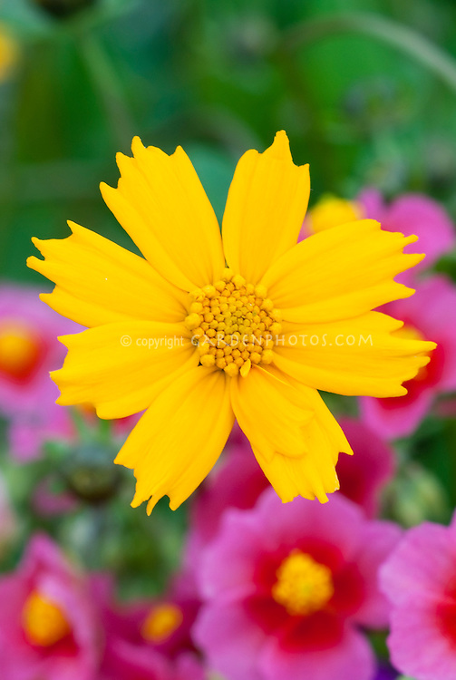 Yellow flowers of perennial Coreopsis Elfin Gold