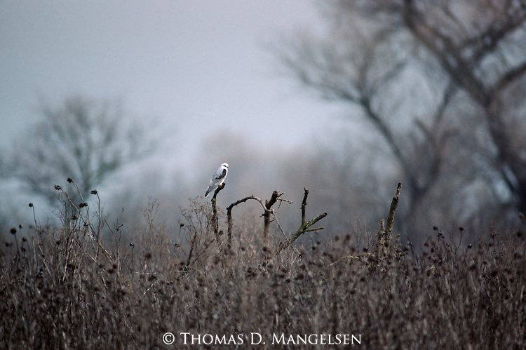 White-tailed Kite perched on a stick in a field.