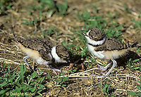 1K09-004z  Killdeer - young chicks 1-2 days old eating worm prey - Charadrius vociferus