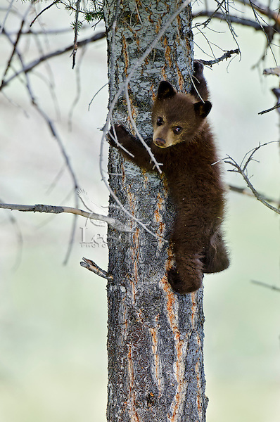 "Wild Black Bear (Ursus americanus) cub.  Western U.S., spring. (This is what is known as a ""coy""--cub of the year.)  Cinnamon color phase (common)."