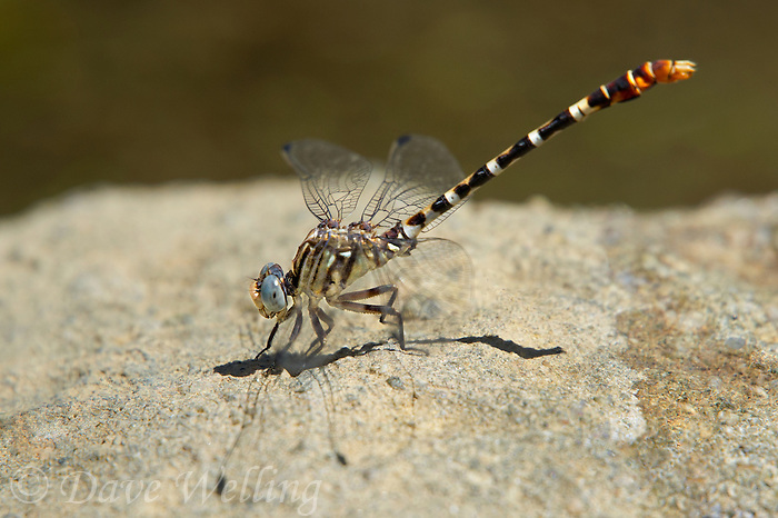 385380038 a wild male serpent ringtail dragonfly erpetogomphus lampropeltis perches in the obelisk position on a rock along piru creek at frenchmans flat los angeles county california