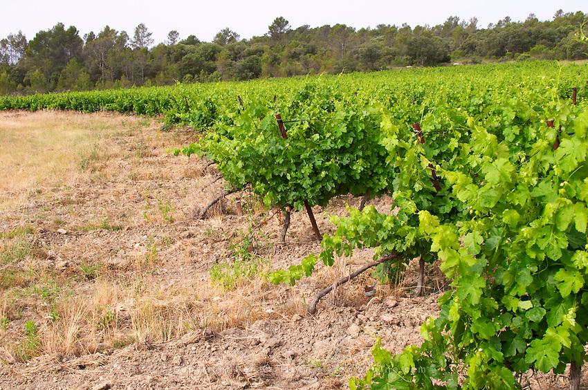 Chateau de Lascaux, Vacquieres village. Pic St Loup. Languedoc. Roussanne vine variety on very porous sandy soil. France. Europe. Vineyard. Sand.