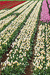 Colourful tulips at the Table Cape Tulip Farm near Wynyard in Tasmania, Australia.
