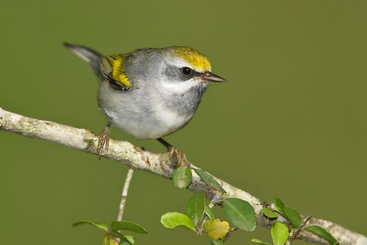 Golden-winged Warbler - Vermivora chrysoptera - female