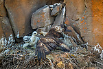 USA, Oregon, golden eagle and chick (Aquila chrysaetos)